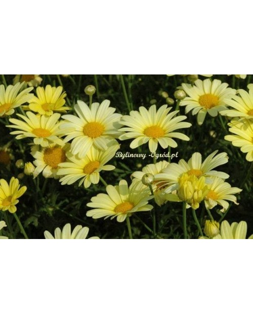 Chryzantema Arctic Yellow