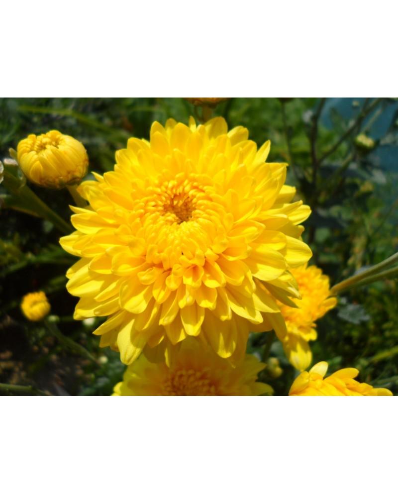 Sofia Yellow