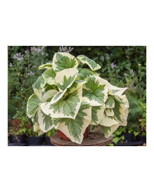 Brunera Macrophylla Variegata
