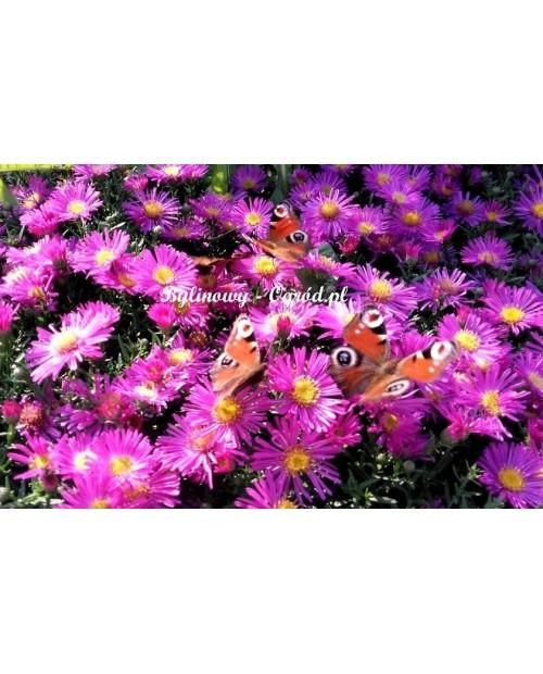 Aster jesienny różowo -wrzosowy niski