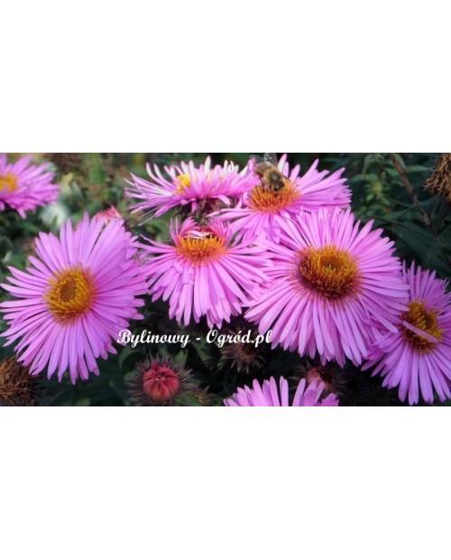 Aster jesienny Jasny różowy-wysoki