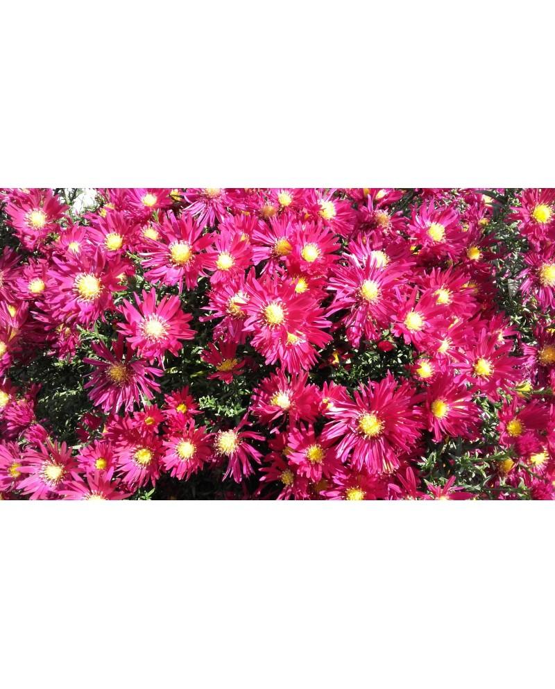 Aster jesienny Ciemny róż -niski