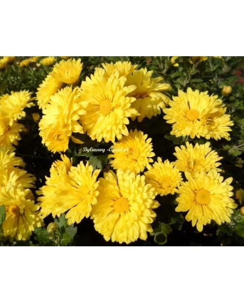 Chryzantema zimująca Chery Yellow