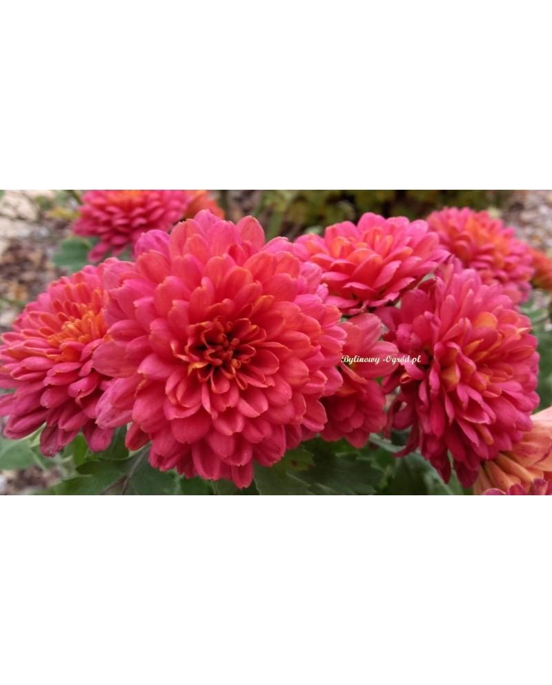 Chryzantema zimująca Różowe serduszko